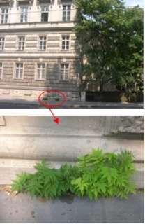 Erwachsener Götterbaum in der Wiener Innenstadt. Seine Nachkommen haben sich schon in der nächsten Pflasterritze etabliert. Hier ist schnelles Handeln angebracht.