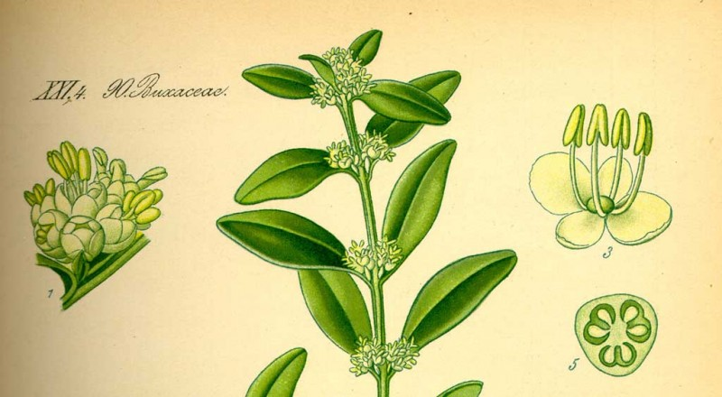 """Illustration Buxus sempervirens0"". Lizenziert unter Public domain über Wikimedia Commons - http://commons.wikimedia.org/wiki/File:Illustration_Buxus_sempervirens0.jpg#mediaviewer/Datei:Illustration_Buxus_sempervirens0.jpg"