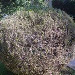 Schadbild alte Pflanze